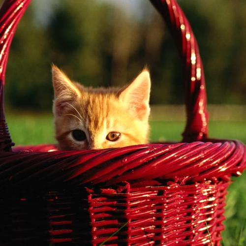 Kitten on the red basket