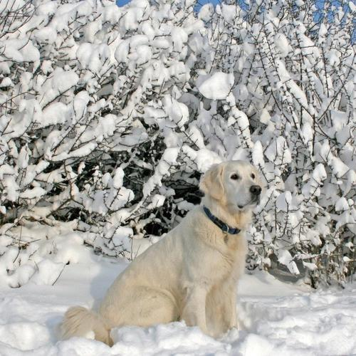 Labrador dog sitting in the snow