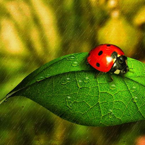 Download Ladybug in the rain High quality wallpaper