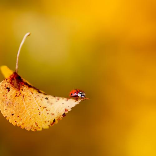 Ladybug on falling leaf wallpaper