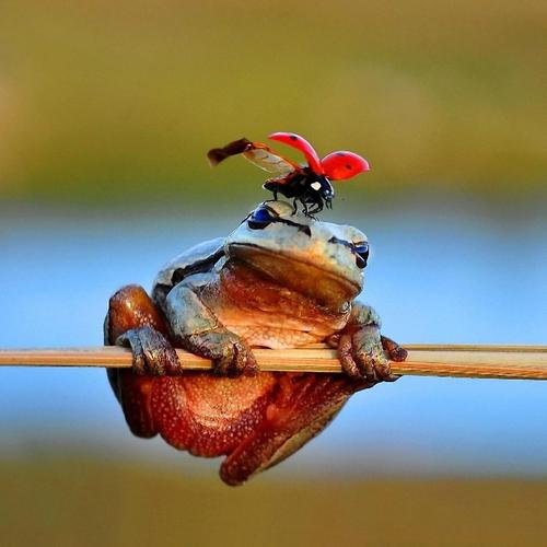 Ladybug on frog head