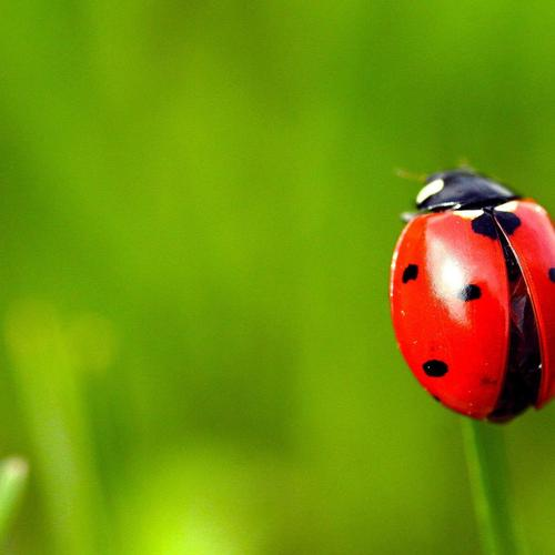 Ladybug on the grass macro shot