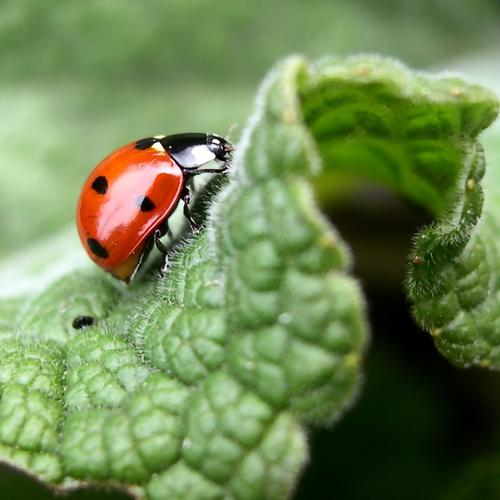 Ladybug on the green leaf macro high resolution