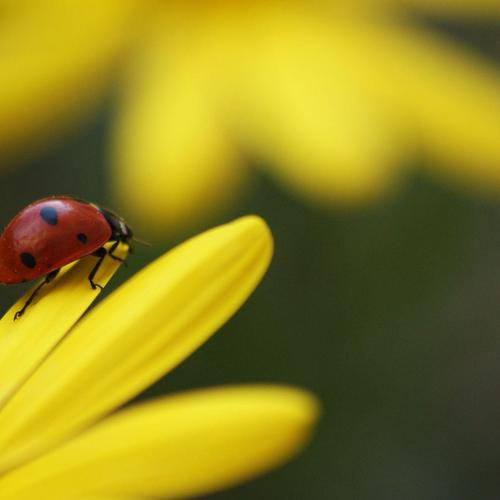 Ladybug on yellow flower wallpaper