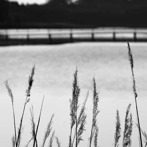 lake view flower water calm nature bokeh dark bw