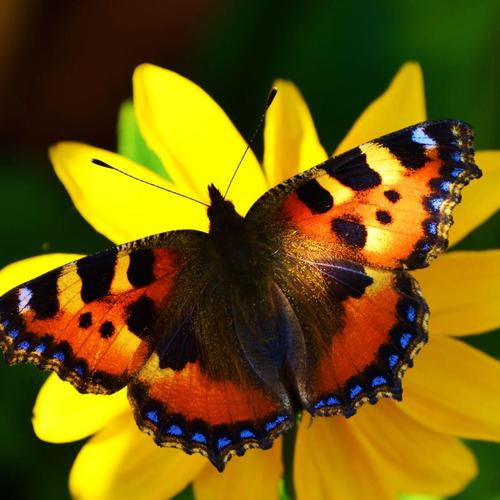 Large Tortoiseshell butterfly wallpaper