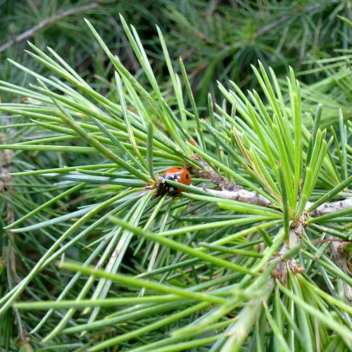 Little ladybug on the pine