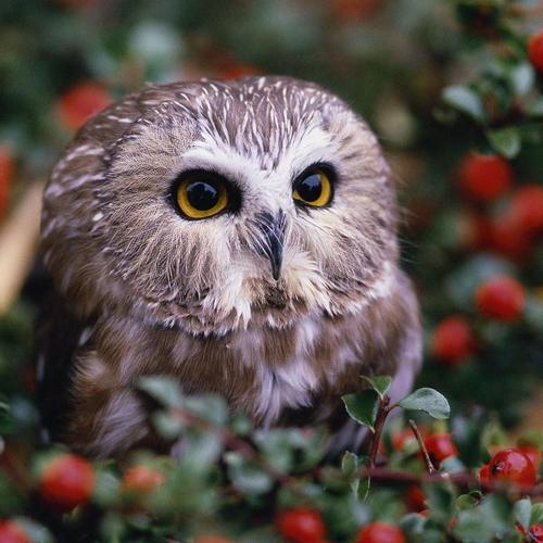Little owl close up