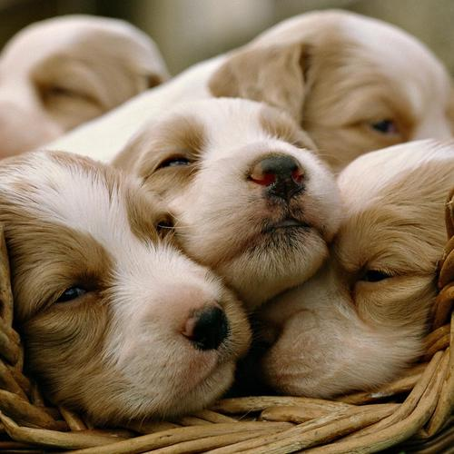 Little puppies wallpaper