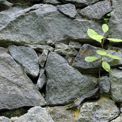 Little tree grows from a wall of rock