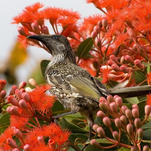 Little Wattlebird in red tree