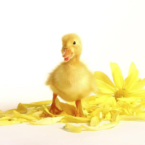 Little yellow chick wallpaper