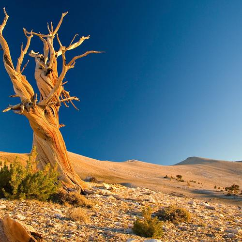 Lonely drought tree in desert wallpaper