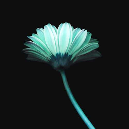 lonely flower dark blue simple minimal nature