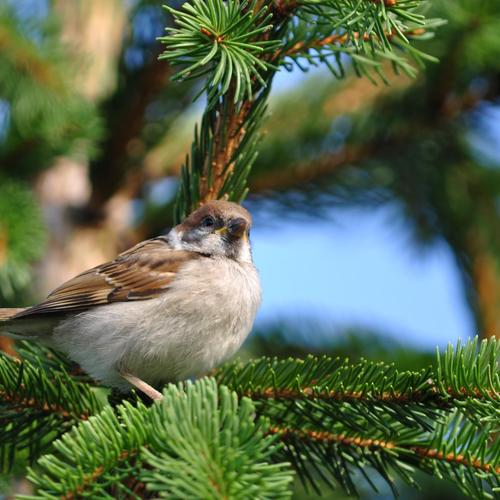 Lovely little bird on a pine wallpaper