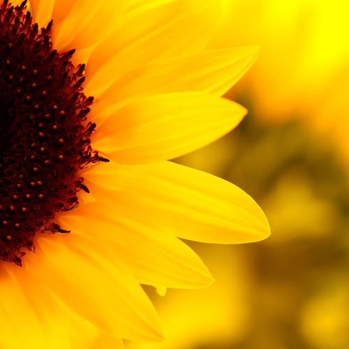 Macro beautiful sunflower wallpaper