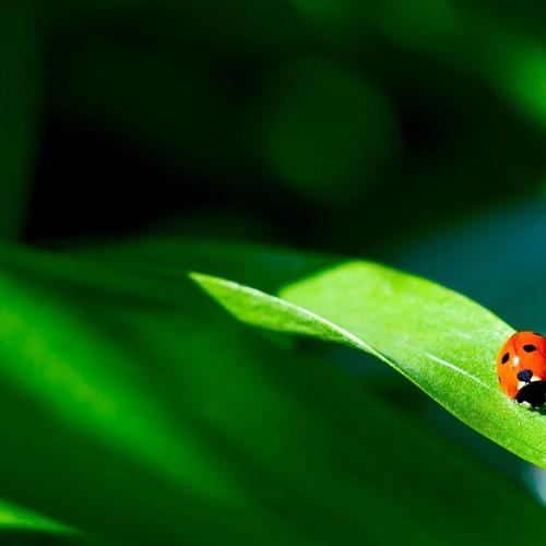 Macro Ladybird on leaf wallpaper
