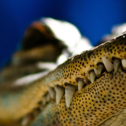 Macro of alligator jaw wallpaper