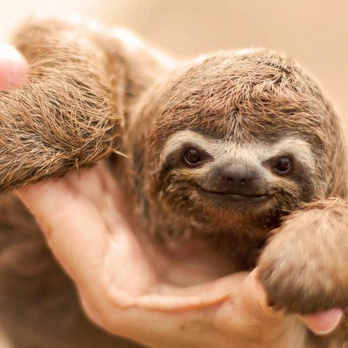 Macro of happy sloth