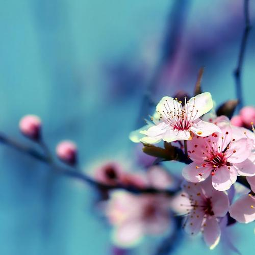 Magnificent Cherry Blossom macro