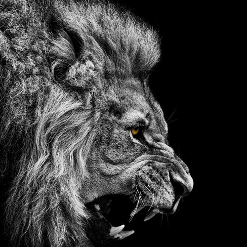 Majestic angry lion black and white wallpaper