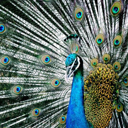 Majestic blue Indian peacock