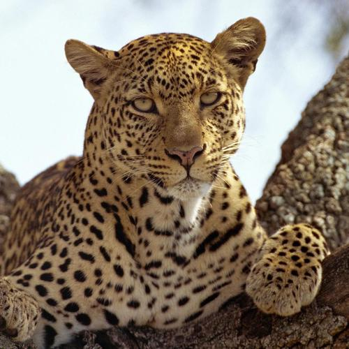 Majestic leopard on a branch tree wallpaper