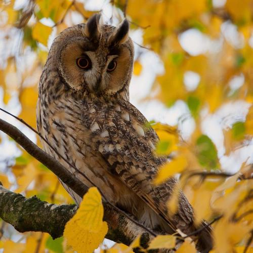Majestic owl on the autumn tree