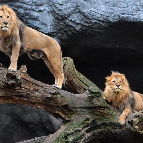 Majestic pair of lions