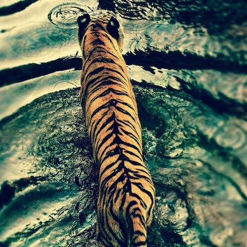 Majestic tiger crossing the river