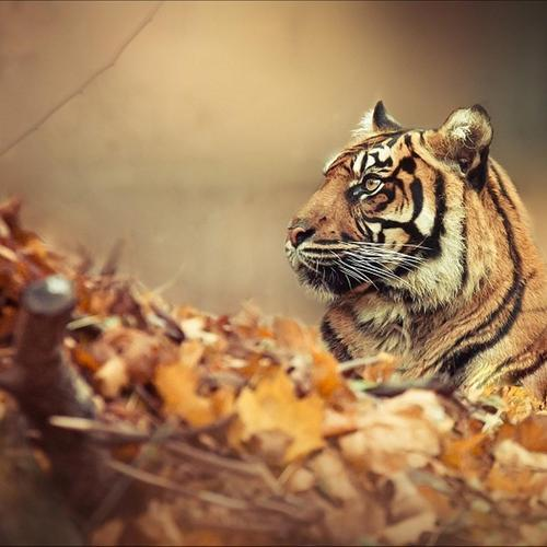 Majestic tiger on autumn leaves