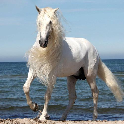 Majestic white horse at the beach