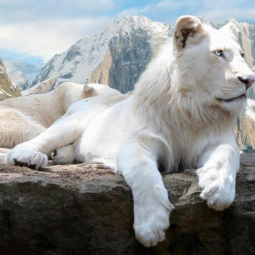Majestic white lion lying on the rock wallpaper
