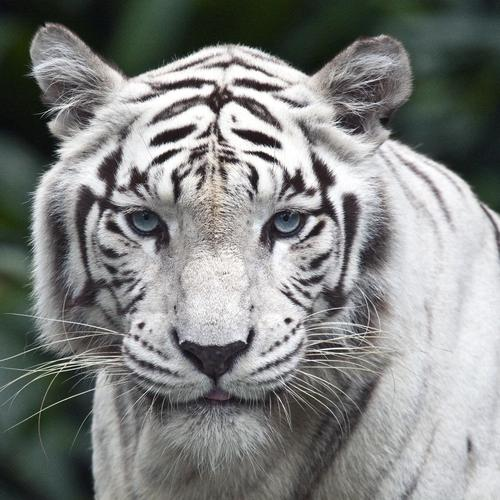 Majestic white tiger wallpaper