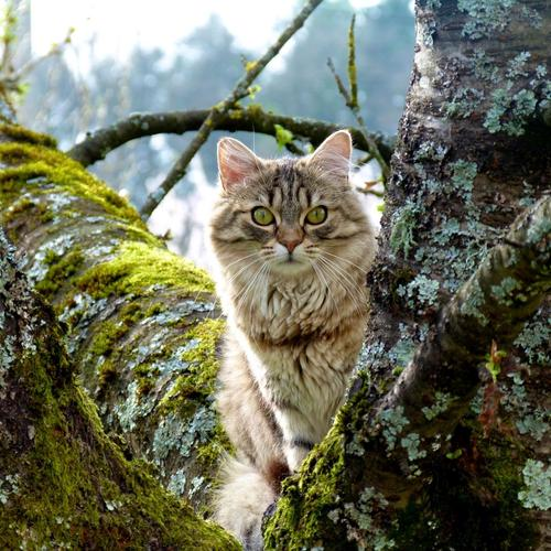 Majestic wild cat in the wood wallpaper