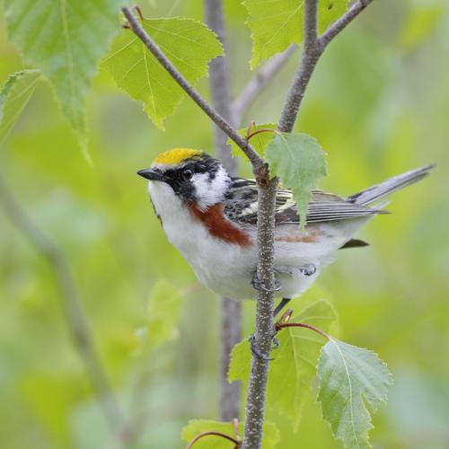 Male Chestnut Sided Warbler, Nova Scotia, Canada