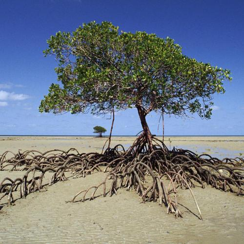 Mangrove Tree Daintree Np Australie fonds d