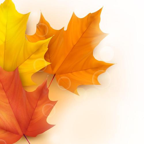Maple leaves in white background wallpaper