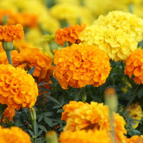 Marigolds flowers wallpaper