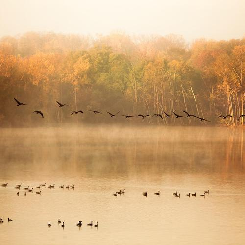Migrating Birds In Autumn lake