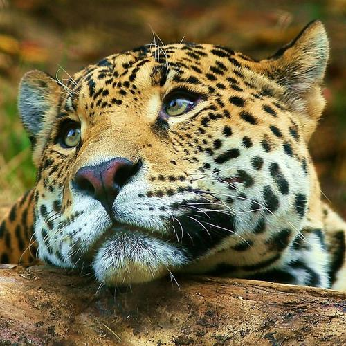 Moody Leopard in macro shot wallpaper