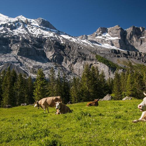 Mountain landscape cattle wallpaper