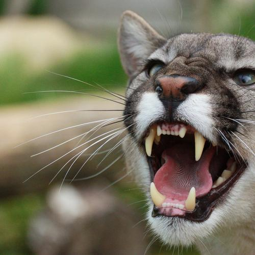 Mountain Lion roaring