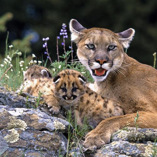 Mountain Lion With Cubs