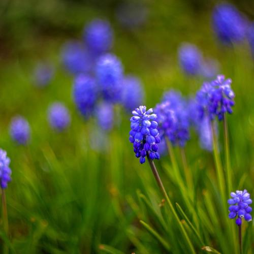 Muscari Flowers Nature behang