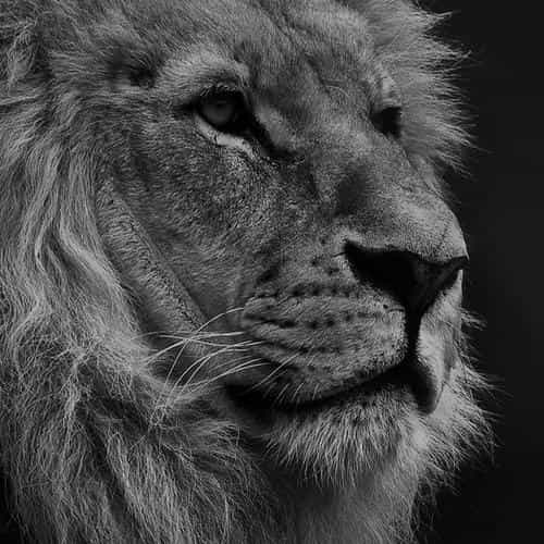 national geographic nature animal lion dark bw