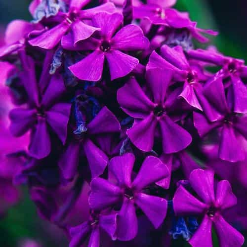 nature flower purple blossom beautiful sprinf