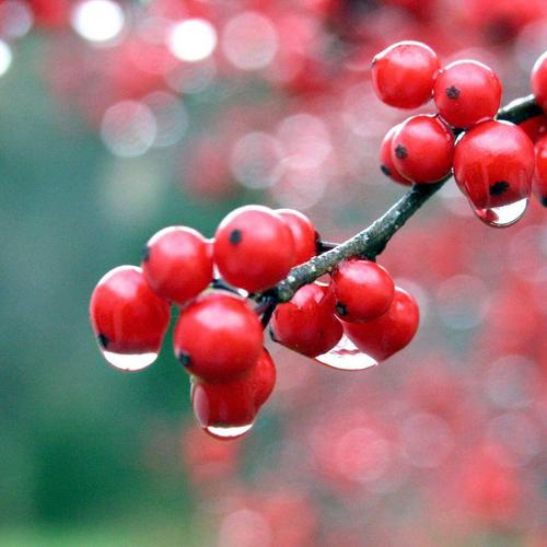 Nature red berries with water drops