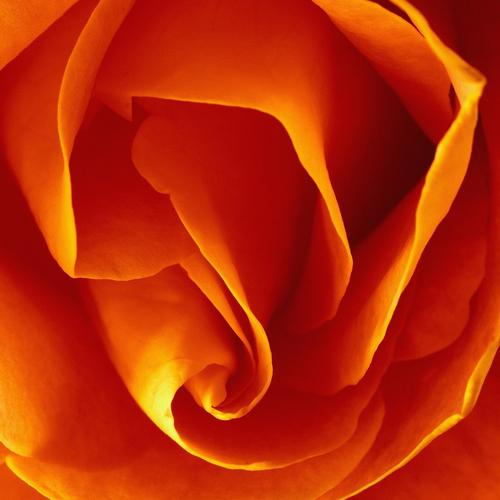 Orange rose wallpaper