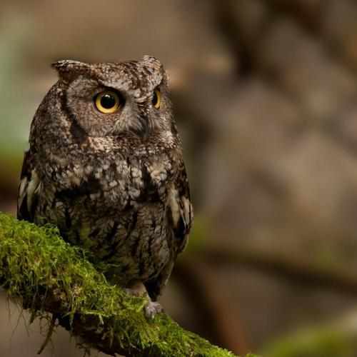 Owl on branch moss